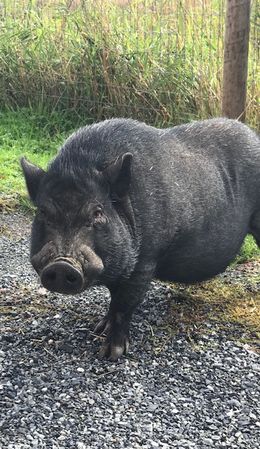 Local pig sings and needs a home!