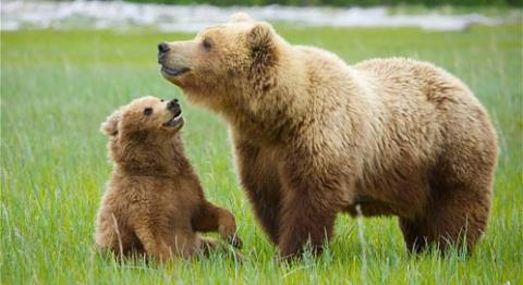 No More Grizzly Bear Hunt
