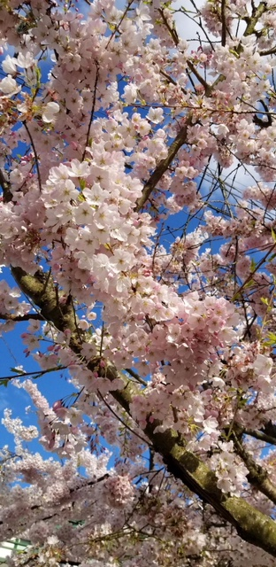 Cherry blossoms everywhere!