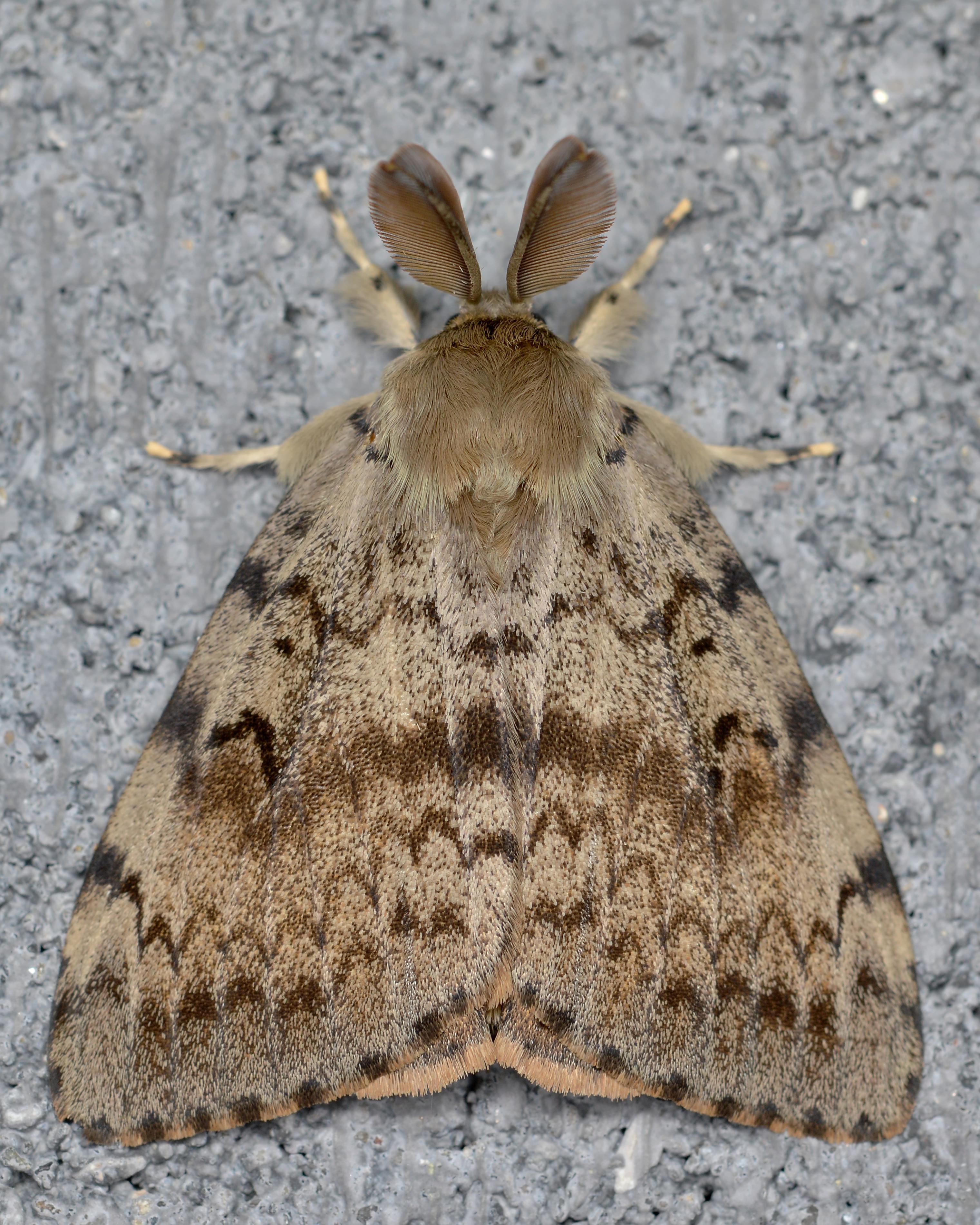 Final gypsy moth aerial spray next week