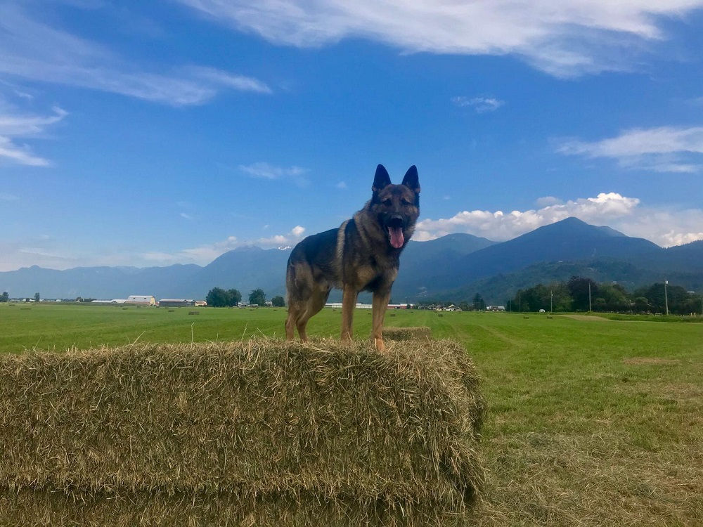 Stolen car suspect tracked by Mounties and PSD 'GRIFF'
