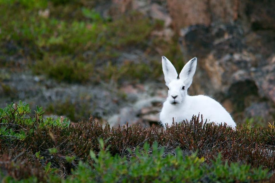 White Rabbit! White Rabbit! White Rabbit!