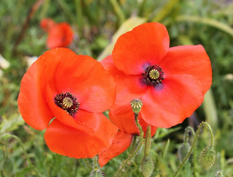 Poppy Volunteers Needed in Surrey & Langley