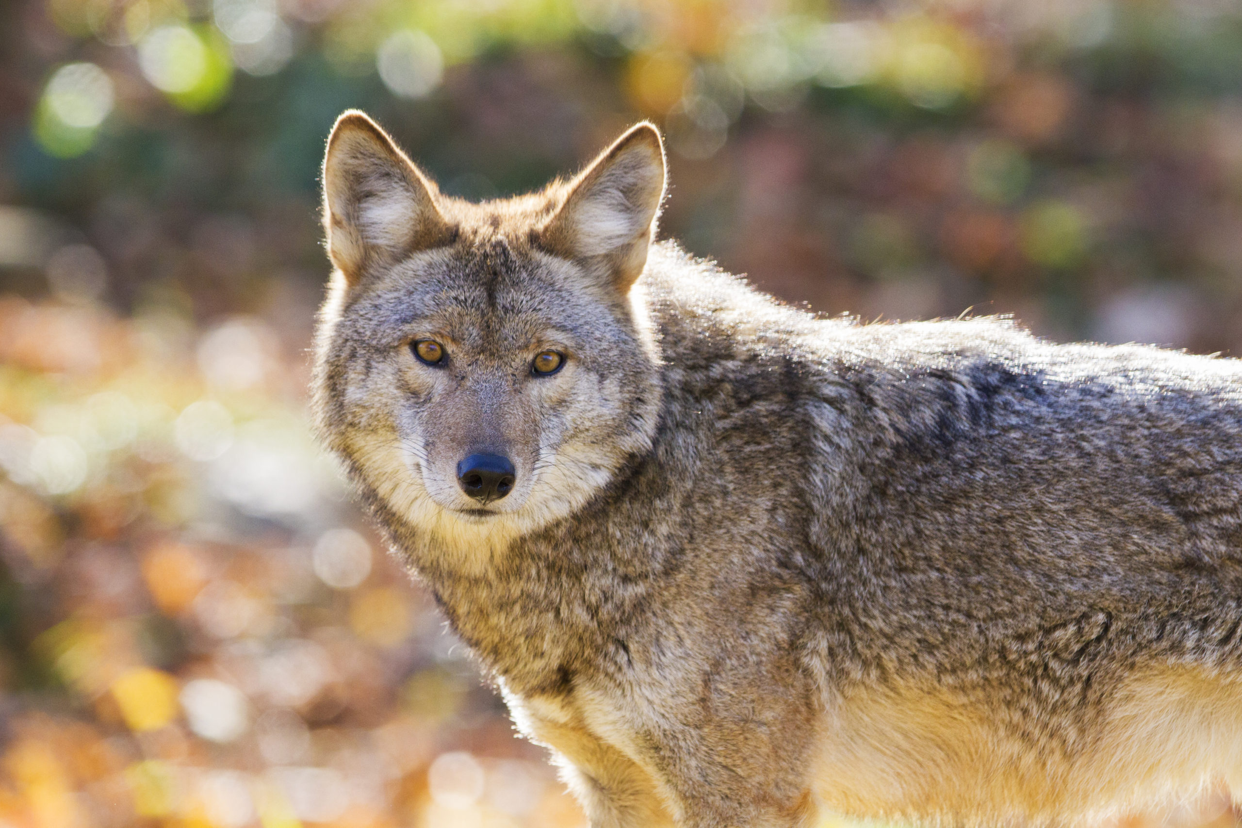 COYOTE ATTACK IN STANLEY PARK