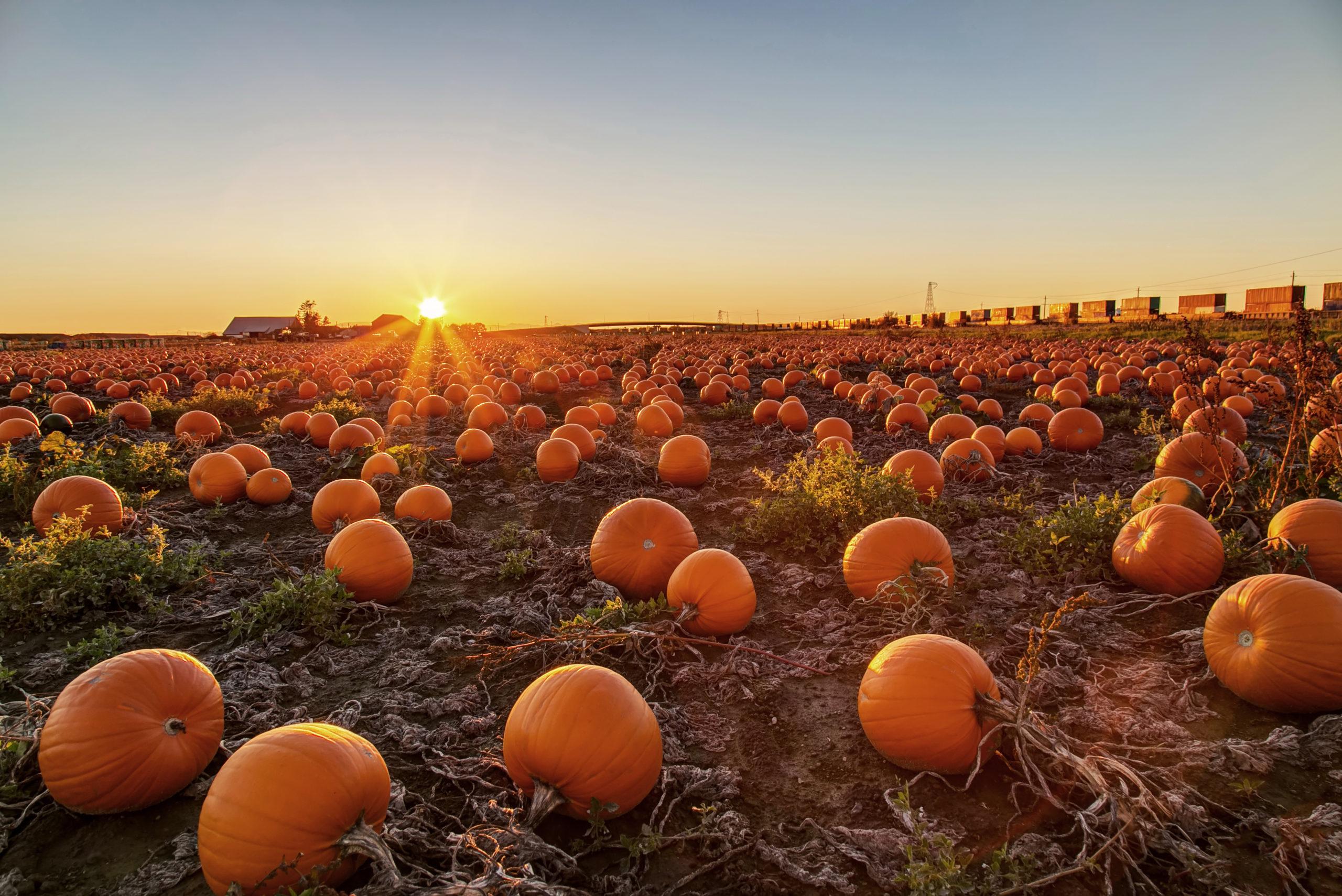 Is a pumpkin shortage coming???